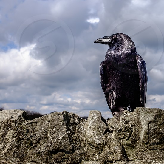 female Raven looking to the left of the frame standing on a stone wall with clouds in the background photo