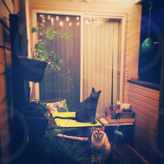 Cats watching bugs dance in the light on the patio photo