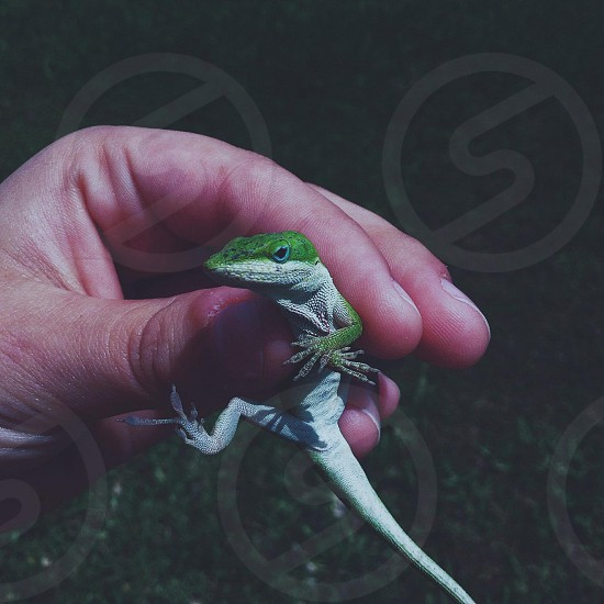person holding green and white lizard photo