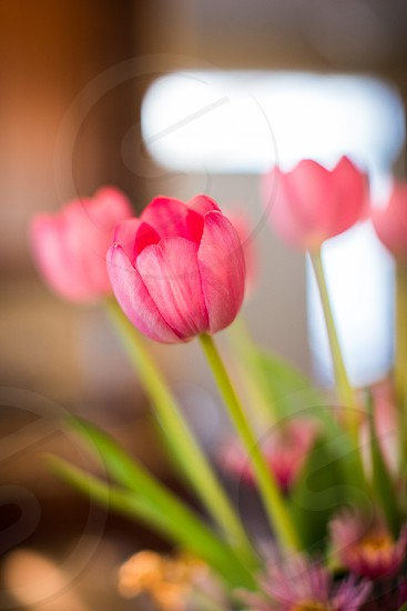 flower tulip love garden Easter spring peace growth outside outdoor nature life pink red photo