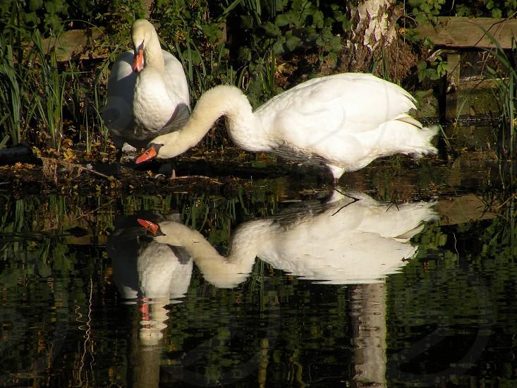 de vorm van hoe de zwanen doen en in het water kijken maakt dat zij voor een prachtige weerspiegeling zorgen. Duivendrecht. Nederland photo