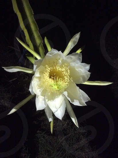 Dragon fruit flower cactus exotic fruit photo