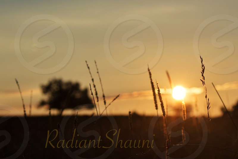 silhouette of grass during golden hour with Radiant Shauni text overlay photo