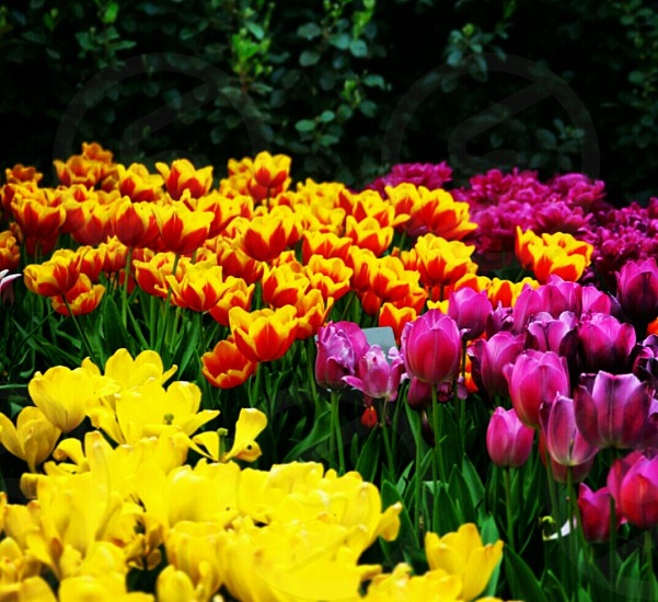 Tulips #colours photo