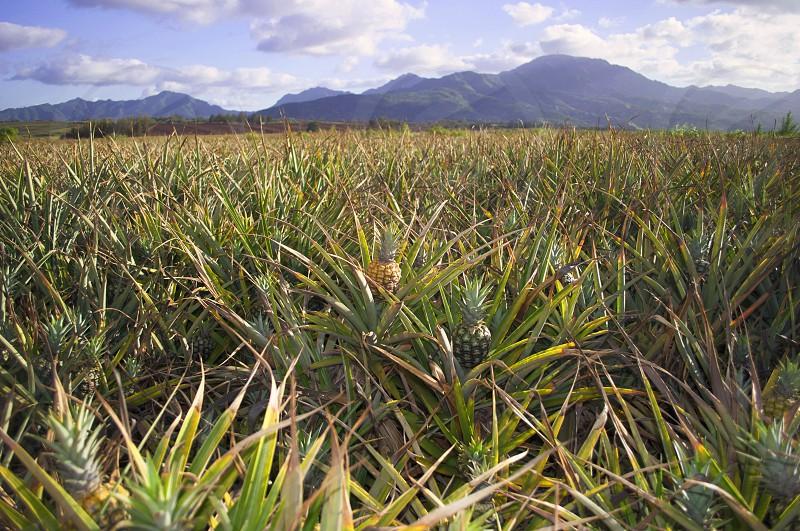 Pineapple Field Oahu Hawaii. Dole Plantation photo