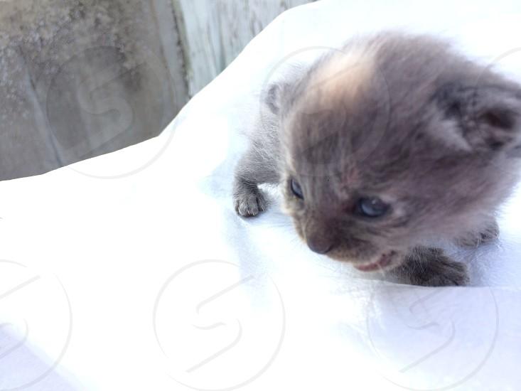 gray tan short-hair kitten photo