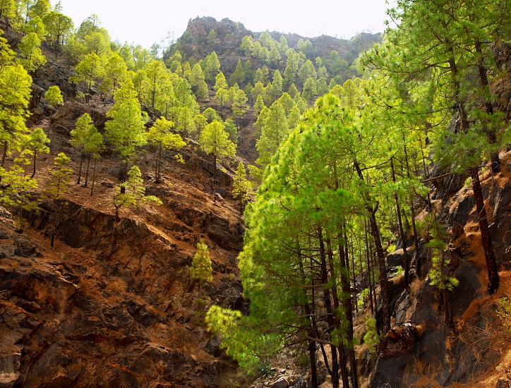 Gran Canaria Canary pine mountains in canaries photo