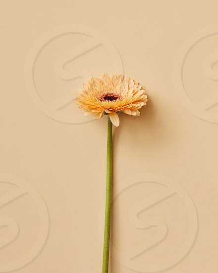 Beautiful beige gerbera flower on beige background. Greeting card. Valentine's Day Mother's Day top view copy space photo