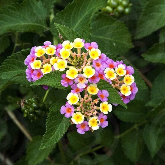 Lantana flower bloom pink and yellow photo