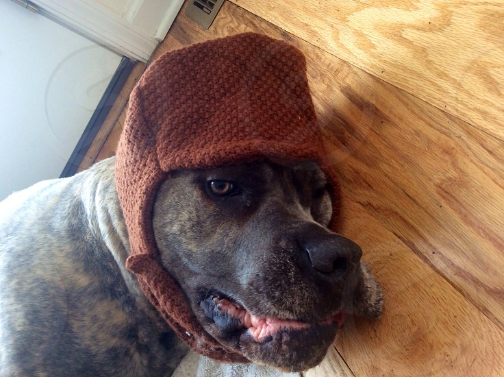 brindle pitbull terrier lying on floor wearing red hat photo