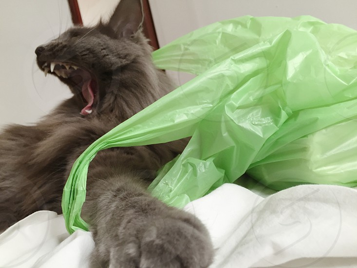 Cat kitty yawn cat yawning green bright colors fangs scary cat photo