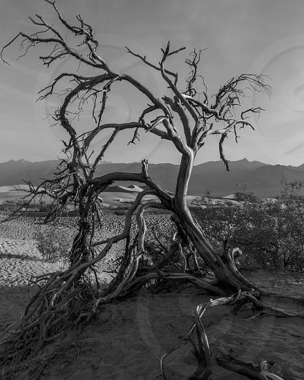 bare tree on sand greyscale photo photo