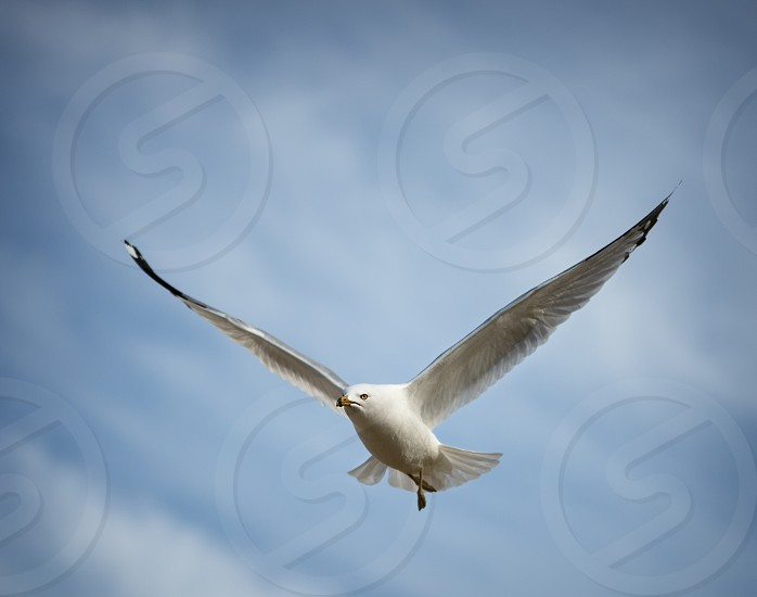 Close up of a seagull in flight. photo