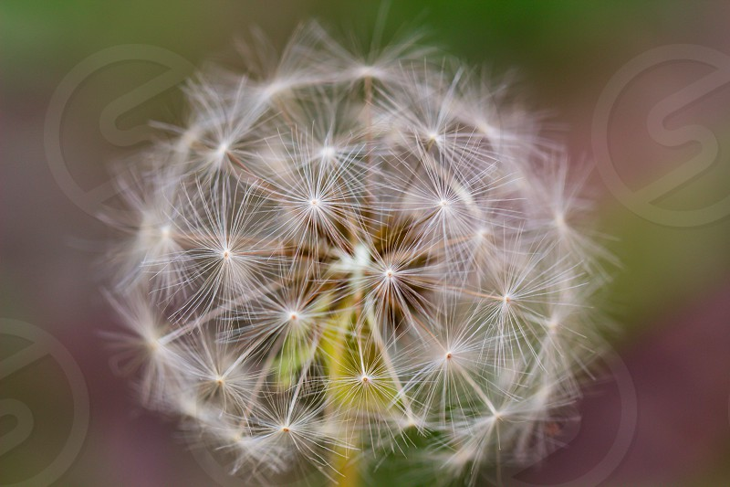 a photo of a dandelion taken with a macro lens  dandelion simple nature macro photo