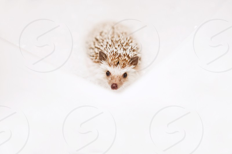 brown and white hedgehog photo