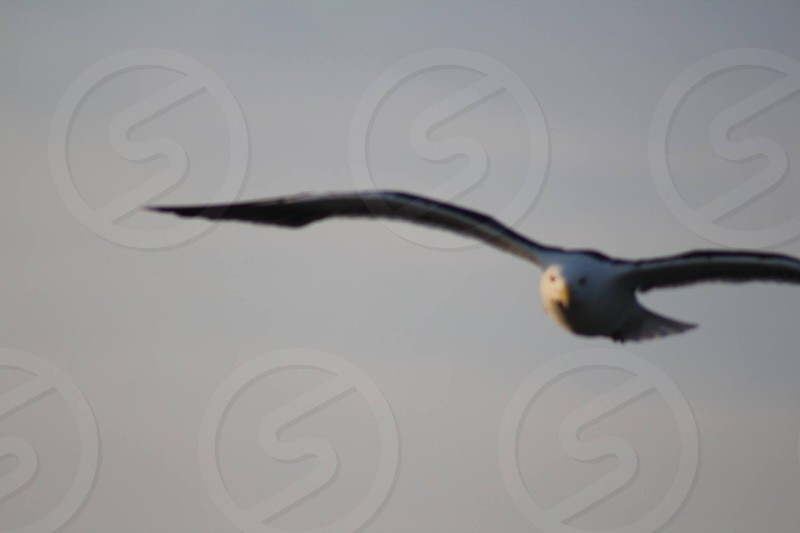 grey bird spreading wings and flying photo