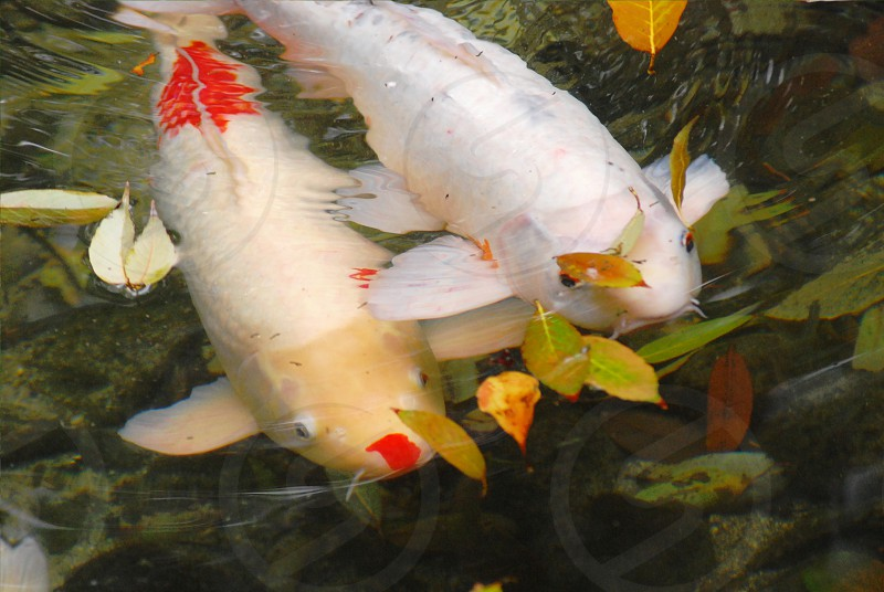 koi carp pond water leaves in water red and white Japan photo