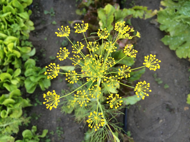 Dill growing in a Pacific Northwest garden. photo