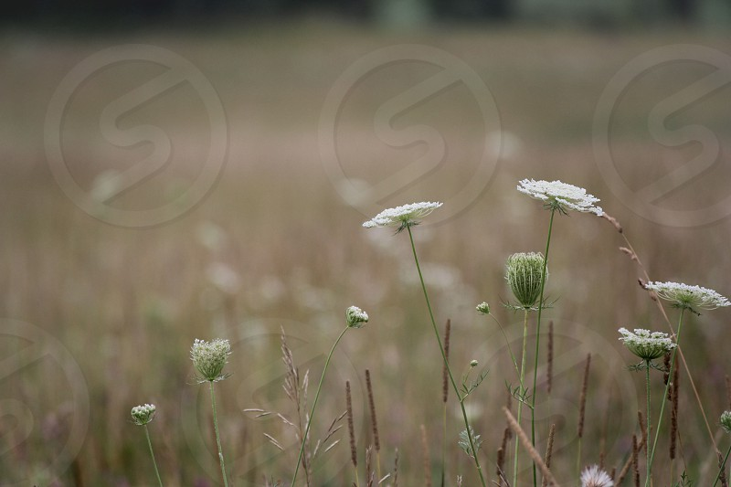field summer august queen Ans lace  grass harvest  photo