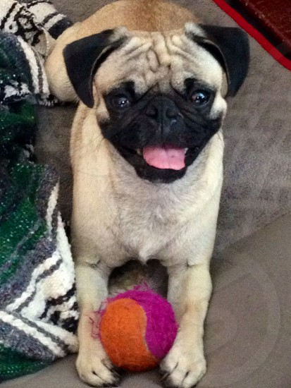 Pug puppy with stolen ball photo