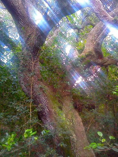 Oak tree. Cocoa Beach Florida. photo