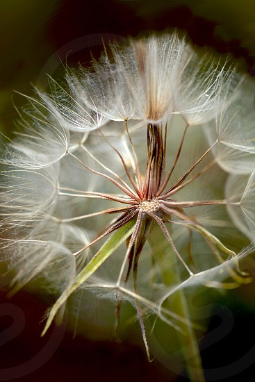 big dandelion photo