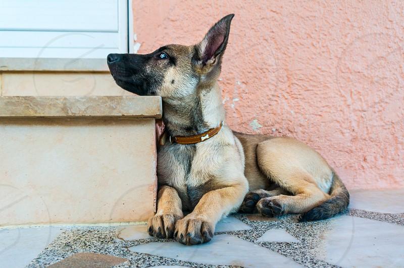 Belgian malinois dog photo