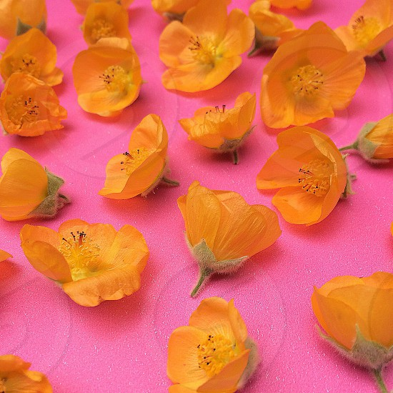 Indian mallow blooms. Drought tolerant california native. photo