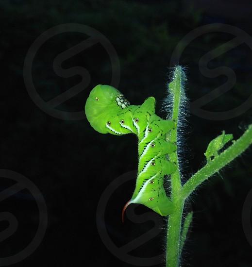 Gardening at night. Tobacco hornworm on tomato plant.  photo
