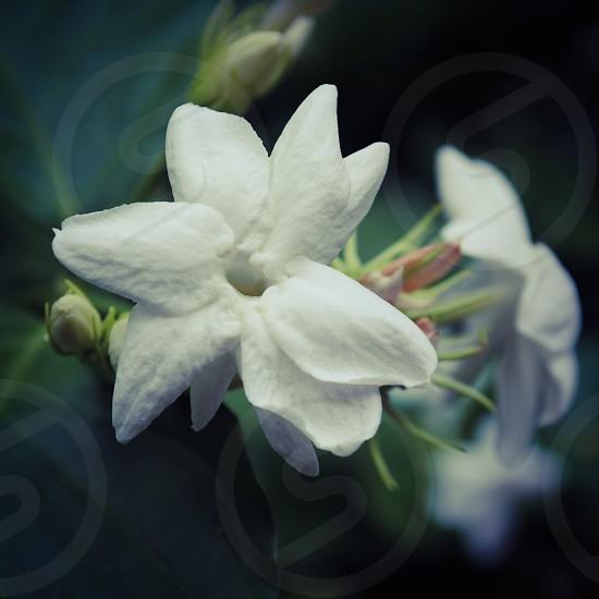 star jasmine flower photo