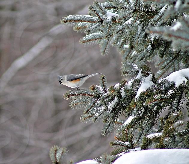 #birds #winter #snow #Pine tree #bird photo