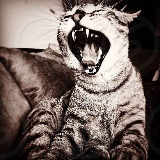 Wild fierce cat photo