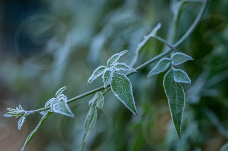 Ice crystals (hoar frost) on green plant leaves photo