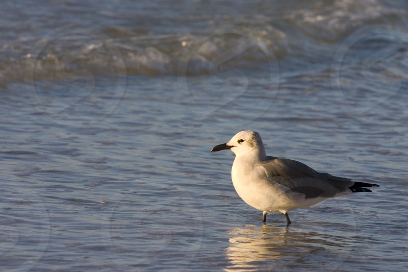 Seagull in the surf of the Gulf of Mexico Orange Beach Alabama. photo