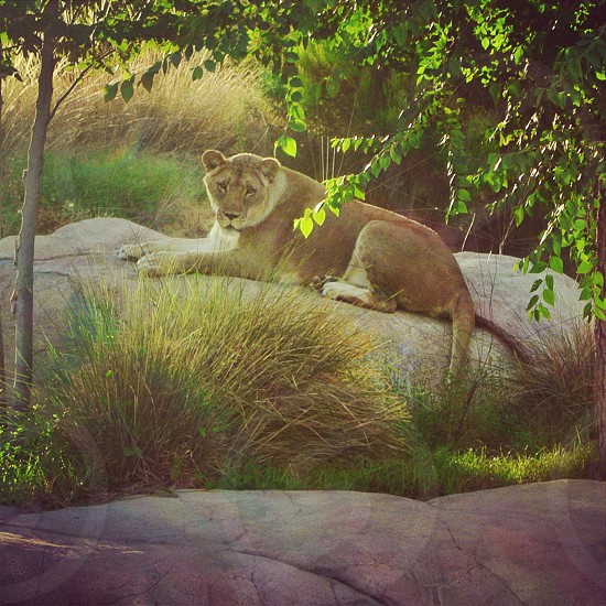 A lioness at the El Paso Zoo  photo