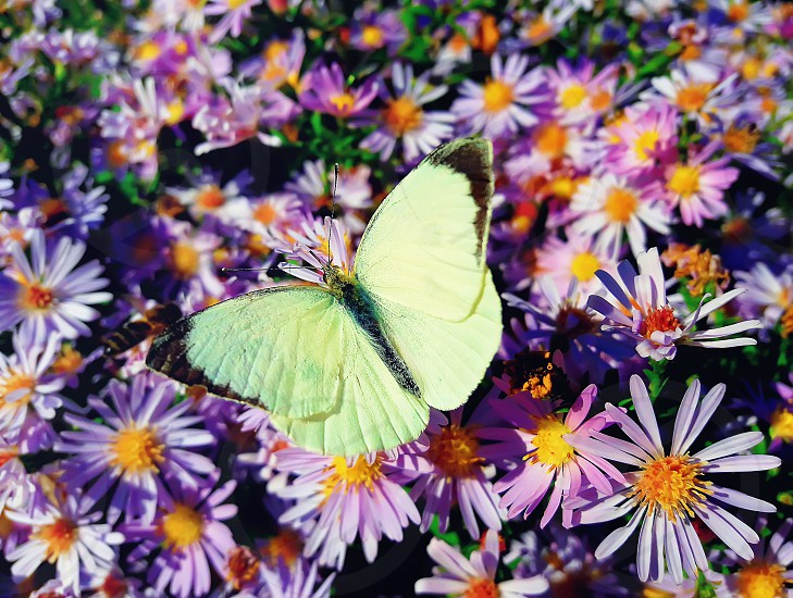 White cabbage butterfly (Pieris rapae) sits on purple aster meadow with opened wings  photo