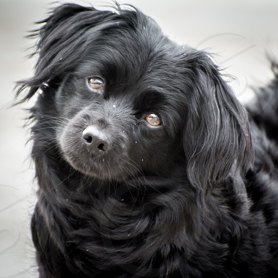black long haired dog photo
