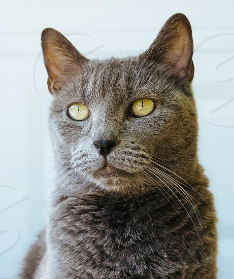 russian blue cat photo