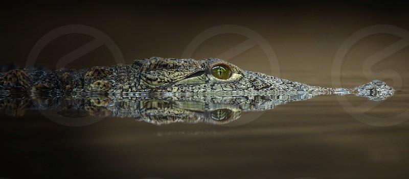 Crocodileanimalnaturereflection photo