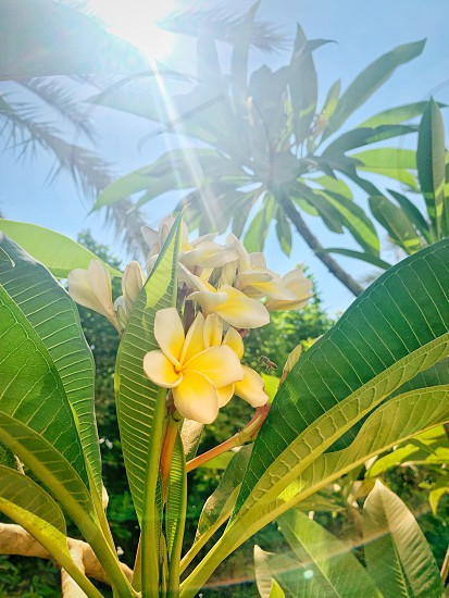 Indian Jasmine Cairo Egypt flowers plants green greenery flower sun sun beams macro  photo