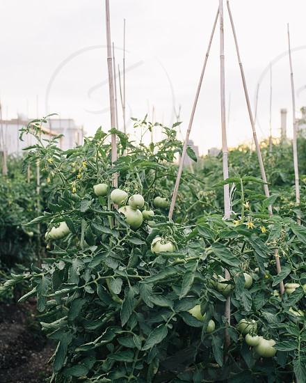 green tomato field with brown posts under clear sky photo
