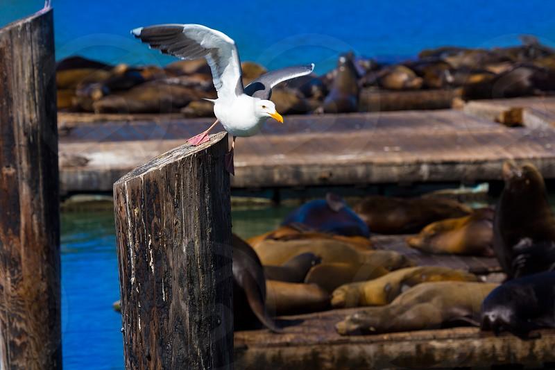 San Francisco Pier 39 seagull and seals at California USA photo