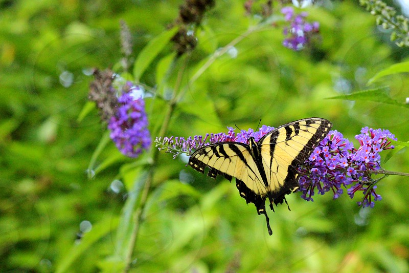 eastern tiger swallowtail butterfly on purple flower macro photography photo