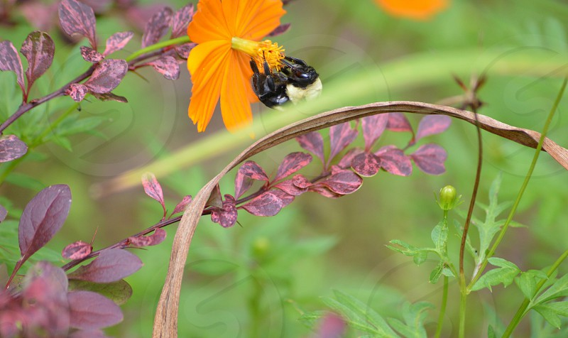 black and yellow bee on golden cosmos flower photo