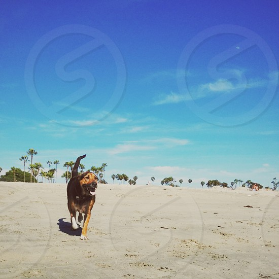 brown and black dog walking on sand photo