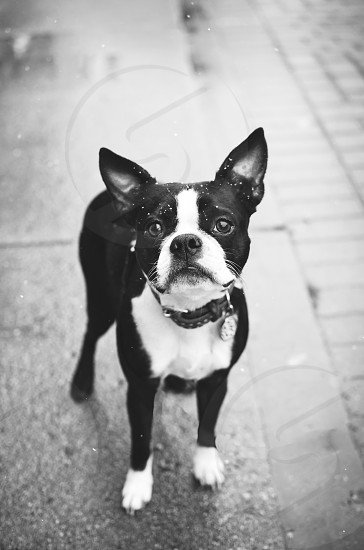 Boston Terrier in the city light snow. Black and White image. photo