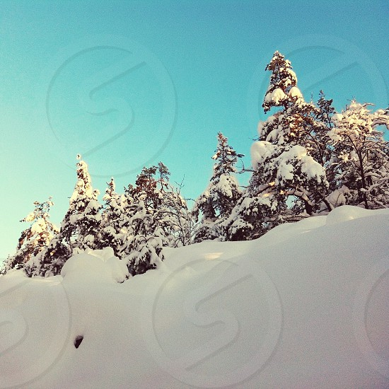 pine tree covered by snow photo