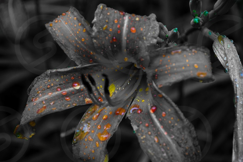 selective color of water drops on petaled flower photo