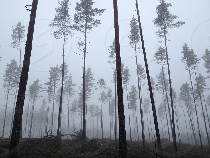 foggy pines photo