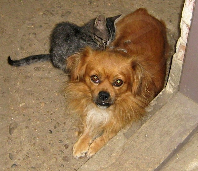 brown tabby kitten next to small brown long-hair dog photo